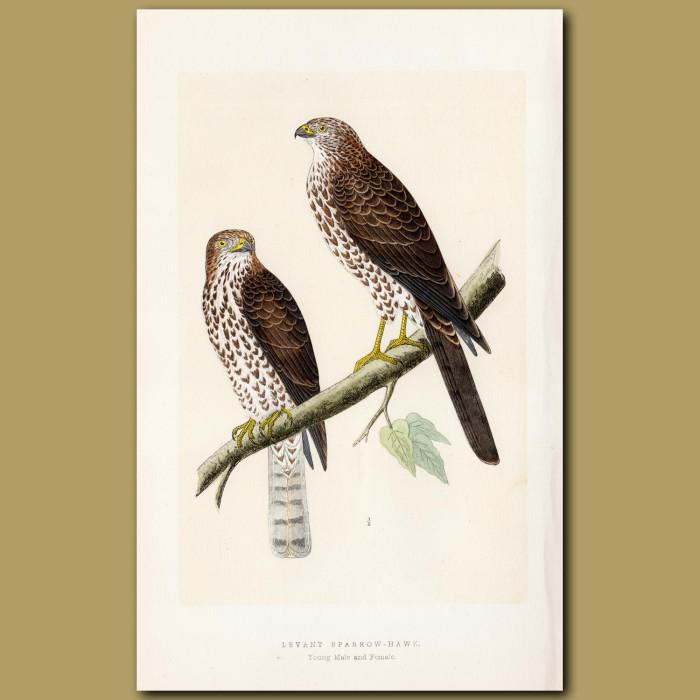 Levant-Sparrow-hawk