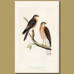Calcutta Sparrow-hawk