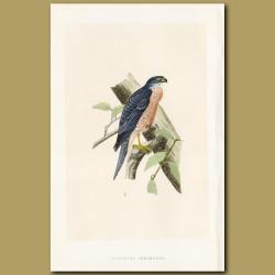 Shinned Hawk (Accipiter sphenurus)