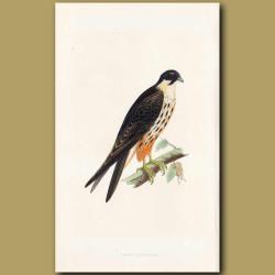 Eleonora Falcon