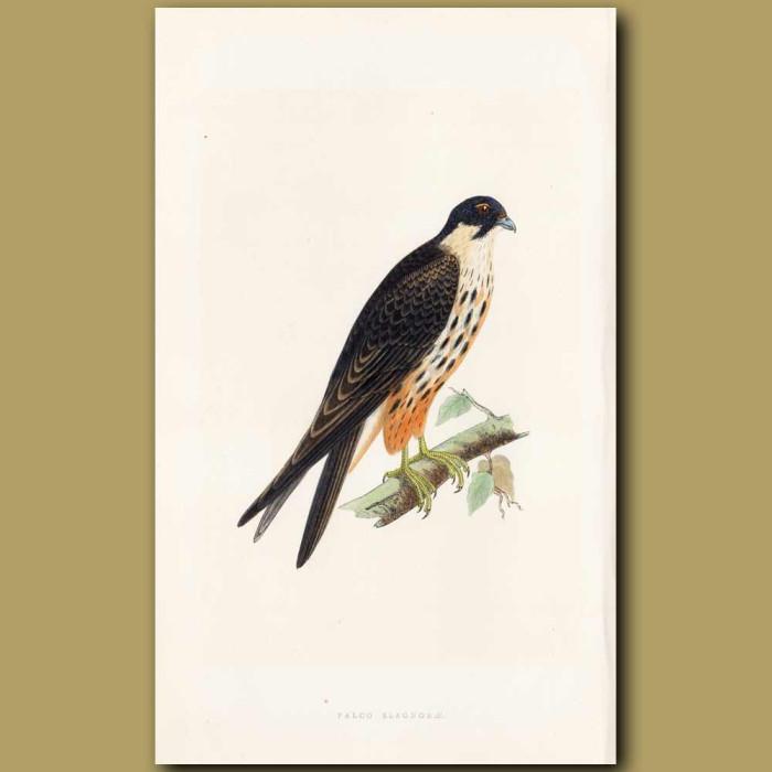 Antique print. Eleonora Falcon