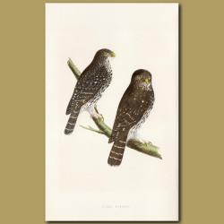 Least European Sparrow Owl