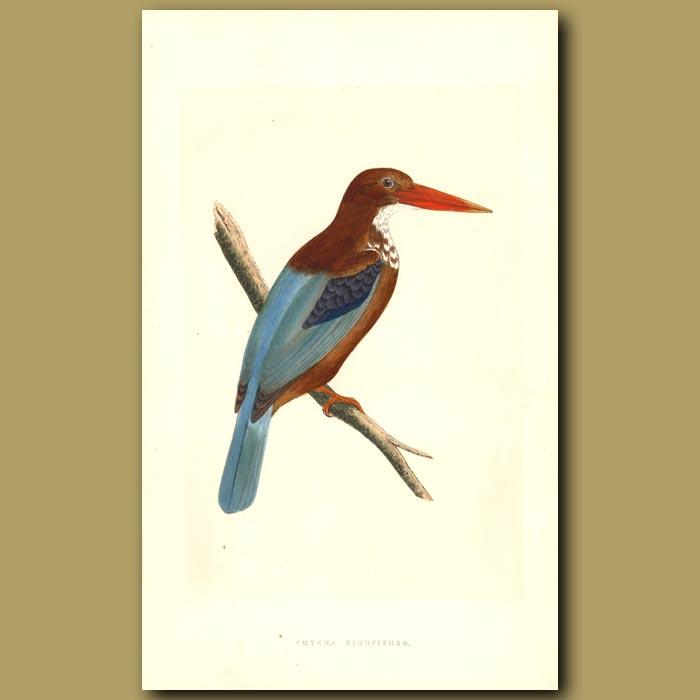 Antique print. Smyrna Kingfisher