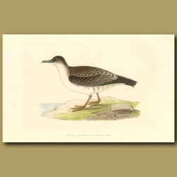 Arctic Cinereous Shearwater
