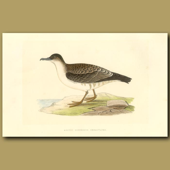 Antique print. Arctic Cinereous Shearwater