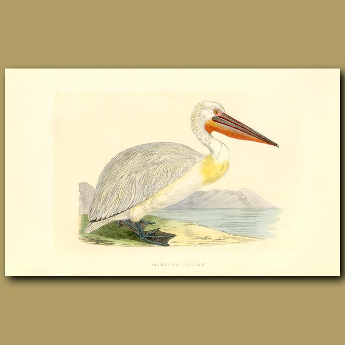 Antique print. Dalmation Pelican