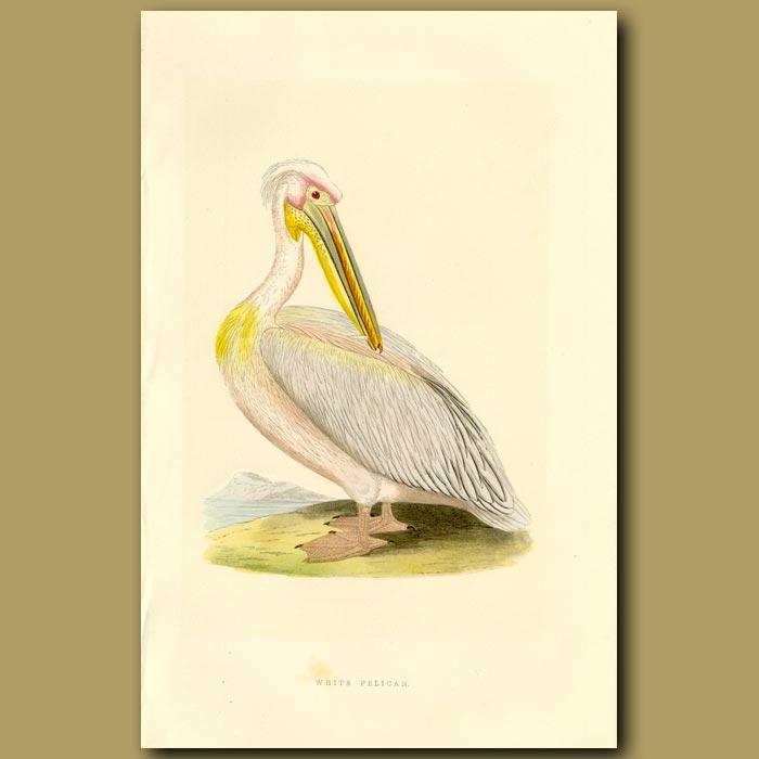 Antique print. White Pelican