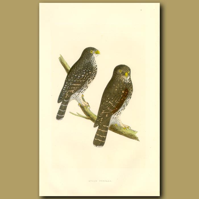Antique print. Small Grey Owl