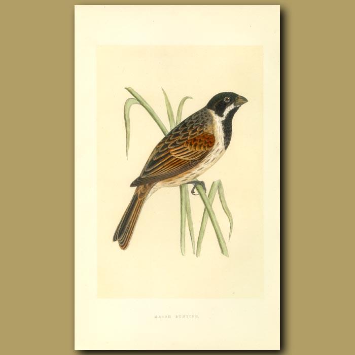 Antique print. Marsh Bunting
