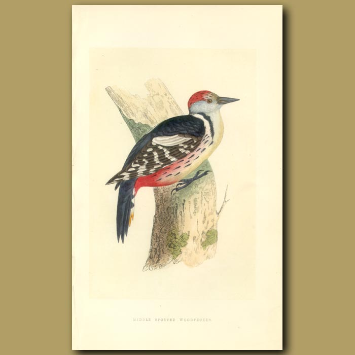 Antique print. Middle Spotted Woodpecker