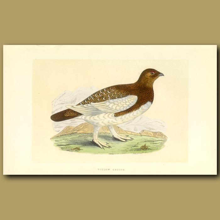 Antique print. Willow Grouse