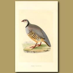 Greek Partridge