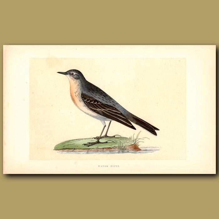 Antique print. Water Pipit