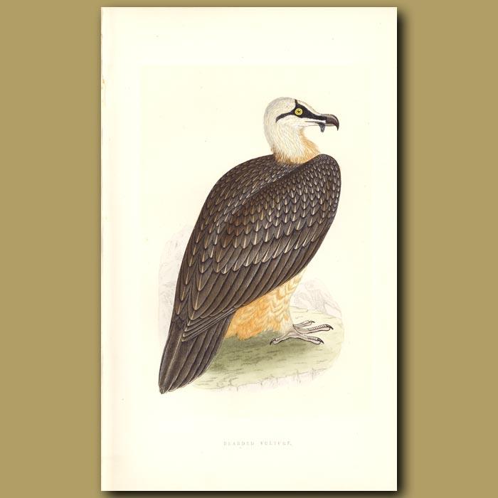 Antique print. Bearded Vulture