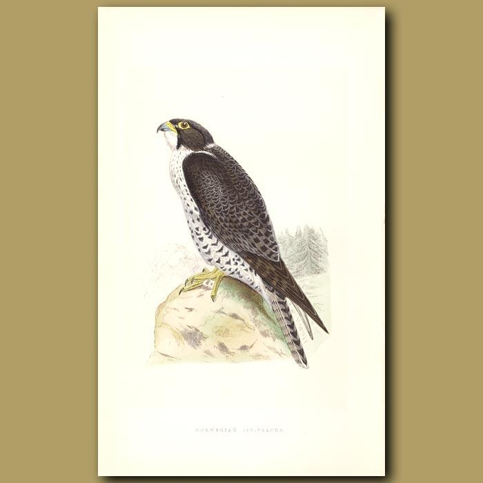 Antique print. Norwegian Jer-Falcon