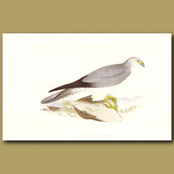 Pale-Chested Harrier