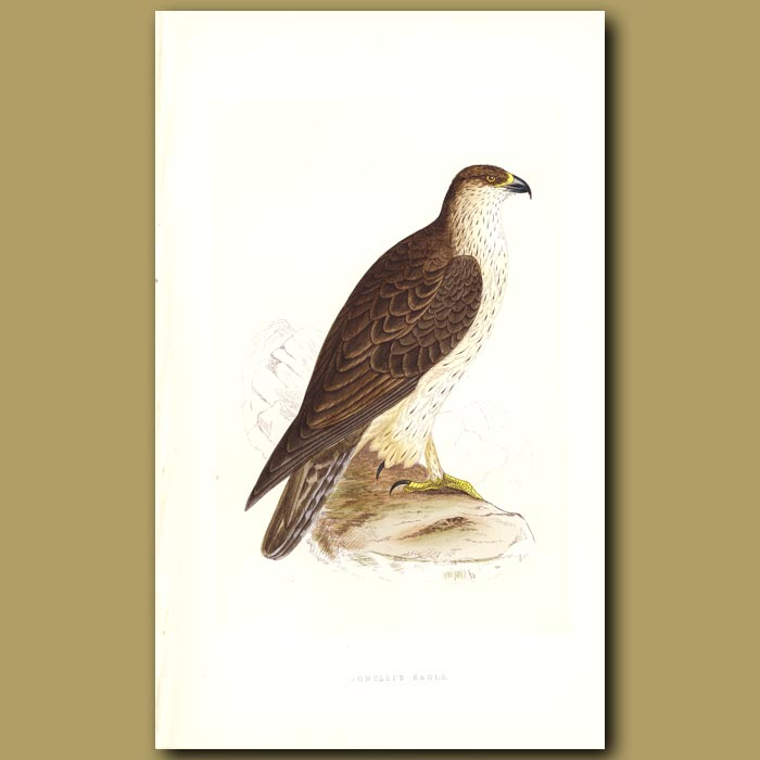 Antique print. Bonelli's Eagle