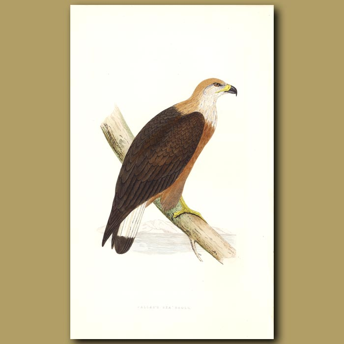 Antique print. Pallas's Sea Eagle
