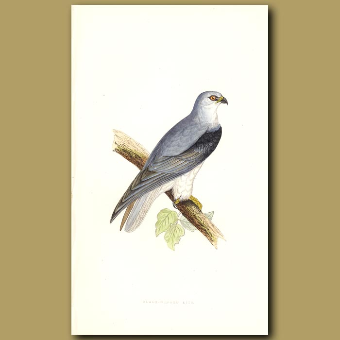 Antique print. Black-winged Kite