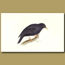 Sardinian Starling