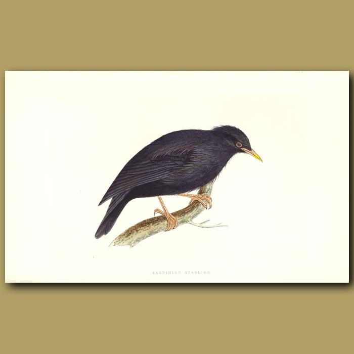 Antique print. Sardinian Starling