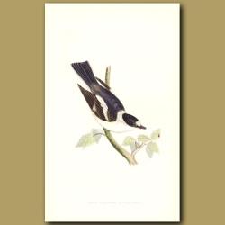 White-Collared Flycatcher