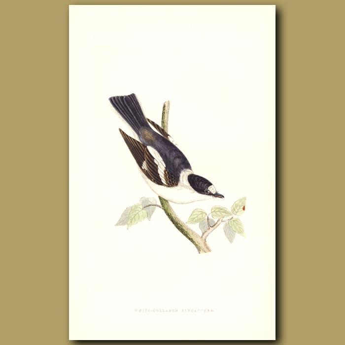 Antique print. White-collared Flycatcher