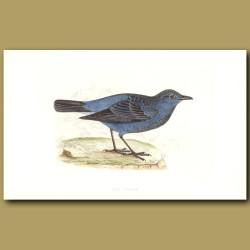 Blue Thrush
