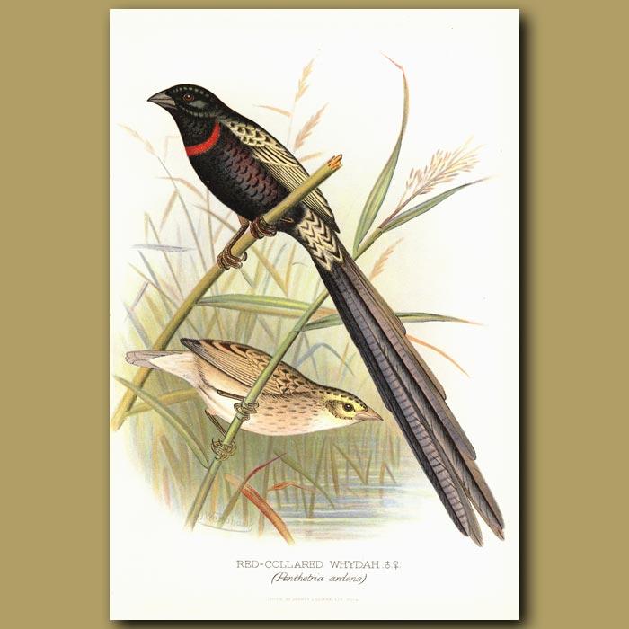 Antique print. Red Collared Whydah bird