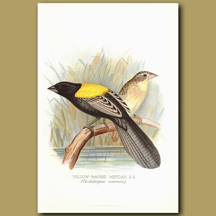 Antique print. Yellow Backed Whydah bird