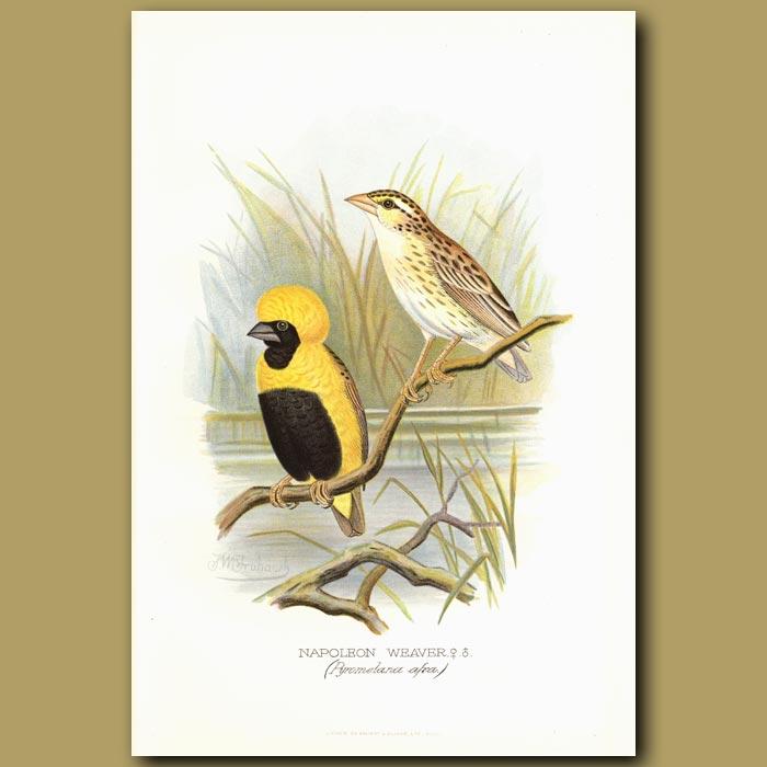 Antique print. Napoleon Weaver bird