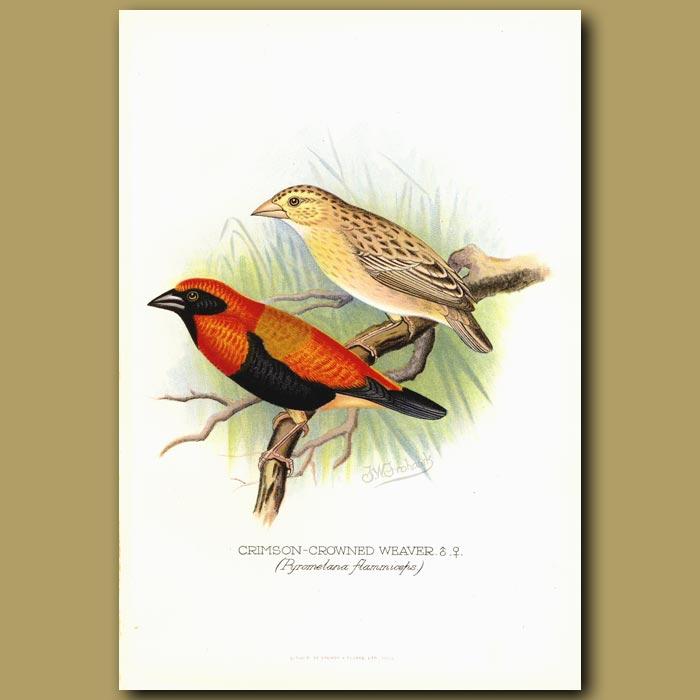 Antique print. Crimson Crowned Weaver bird