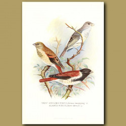 Grey Singing Finch And Alario Finch