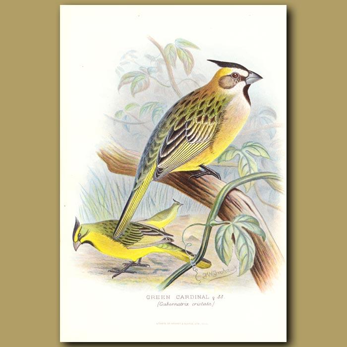 Antique print. Green Cardinal