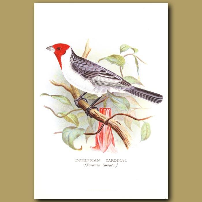 Antique print. Dominican Cardinal