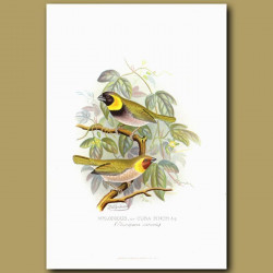Melodious Or Cuba Finch