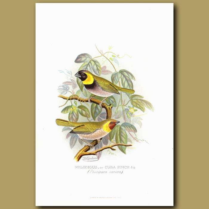 Antique print. Melodious or Cuba Finch