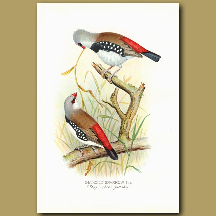 Antique print. Diamond Sparrow