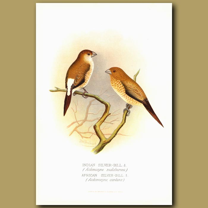 Antique print. Indian Silver-bill and African Silver-bill
