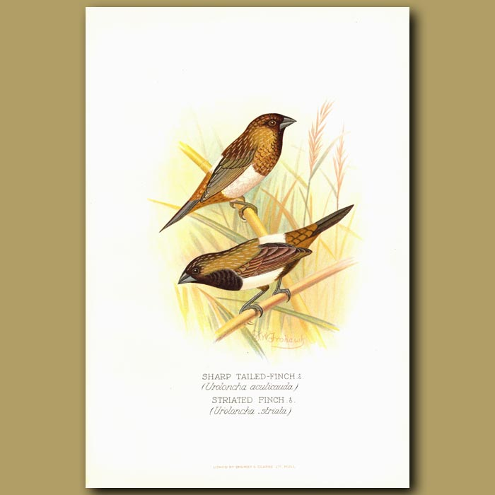 Antique print. Sharp-tailed Finch and Striated Finch