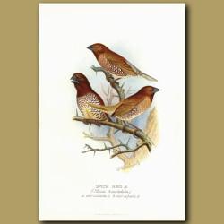 Spice Finch Or Nutmeg Mannikin