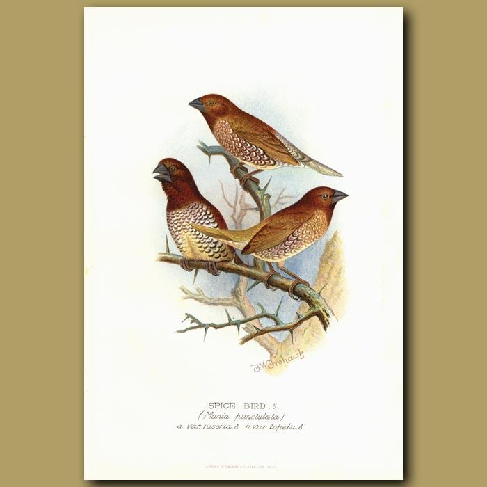 Antique print. Spice Finch or Nutmeg Mannikin