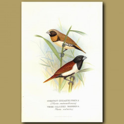 Chestnut-Breasted Finch And Three Coloured Mannikin