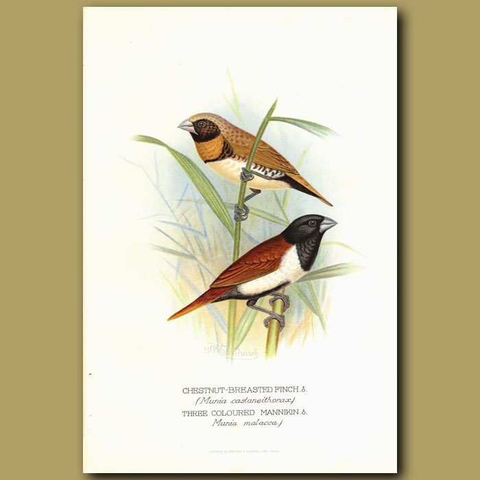 Antique print. Chestnut-breasted Finch and Three Coloured Mannikin