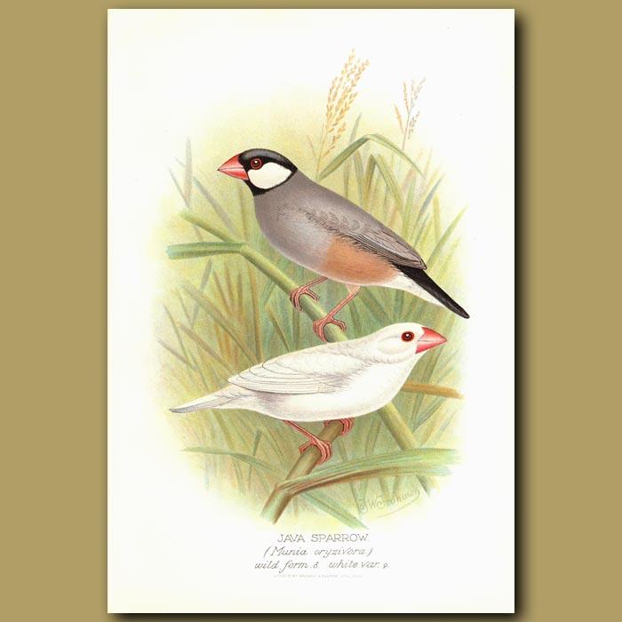 Antique print. Java Sparrow