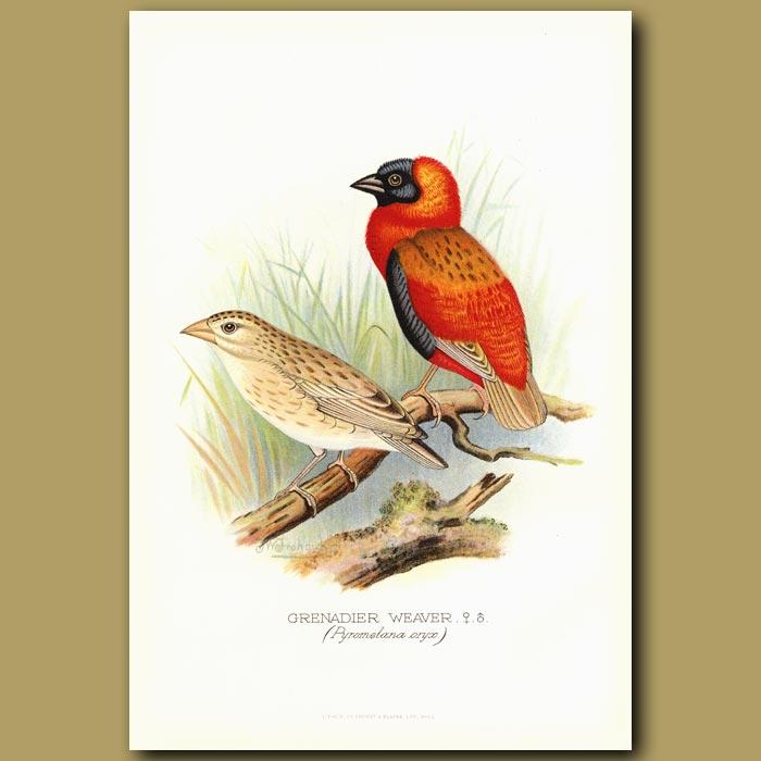 Antique print. Grenadier Weaver