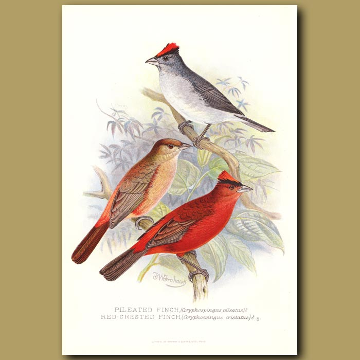 Antique print. Red Crested Finch and Pileated Finch