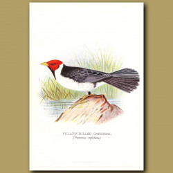 Yellow Billed Cardinal Finch