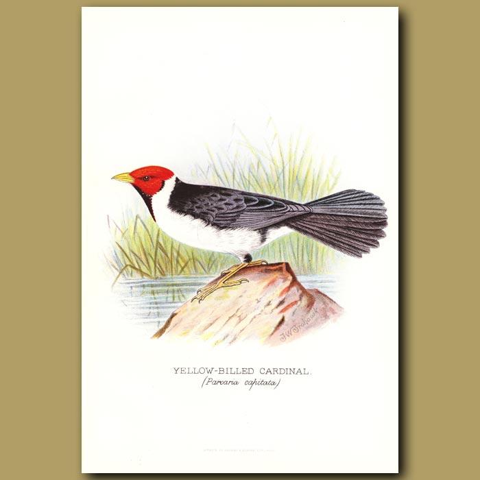 Antique print. Yellow Billed Cardinal Finch