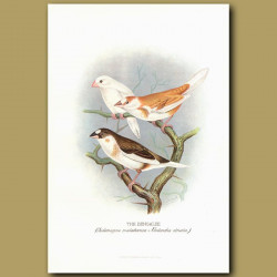 Bengalee And Striated Finches
